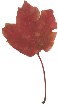 Red Leaf from our backyard
